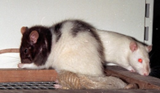 pet rats communicate using ultrasound as well as using some squeaks which are audible to humans.