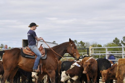 Team Penning on Show Me