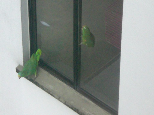 One of the parrots regularly visits his friend.