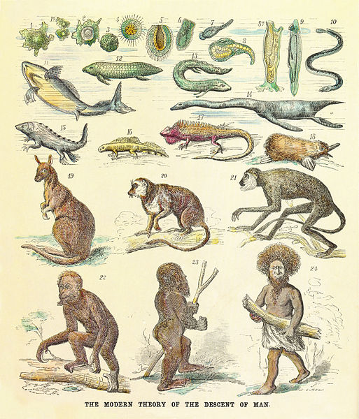 Natural selection has evidence to support it, but proposed evolutionary paths such as this one from 1874 is based on speculation using current data. That man has evolved can be accepted, but to such degrees is difficult to swallow without proof.