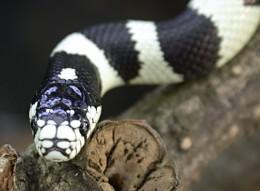 California King Snake head