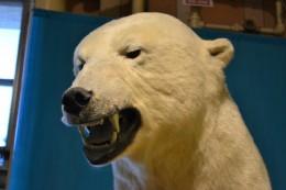 NEVER Eat a Polar Bear Liver: Polar Bear encounter survival