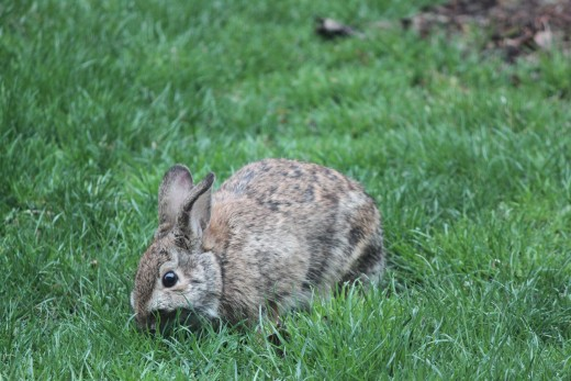 Rabbit eating the grass in the backyard 3/31/12