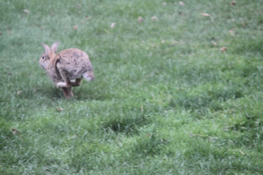 rabbit running off after being startled by the neigbors dog 3/31/12