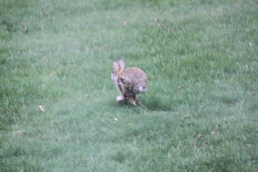 rabbit on the run! 3/31/12