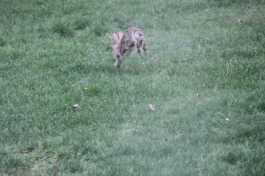 rabbit hopping away 3/31/12