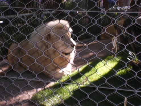 A White Lion at the Secret Garden.