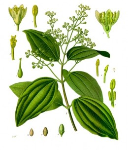 Cinnamon, Cinnamomum verum from Köhler's Medizinal Pflanzen-
