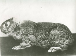 Earless rabbit #2