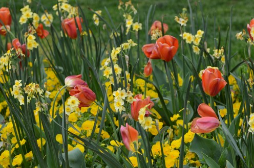 Tulips in a tulip garden this spring.  I love the different kinds of flowers together.