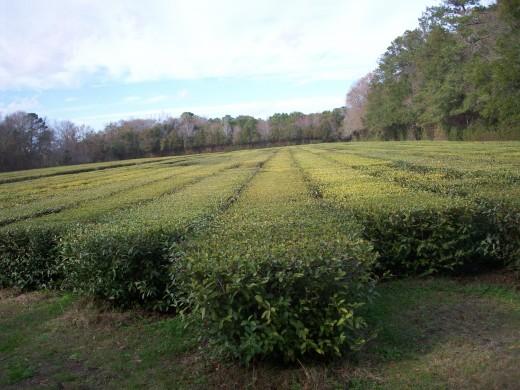 Original tea plants from 1960