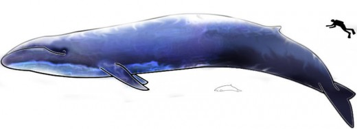 Blue Whale compared to average human.