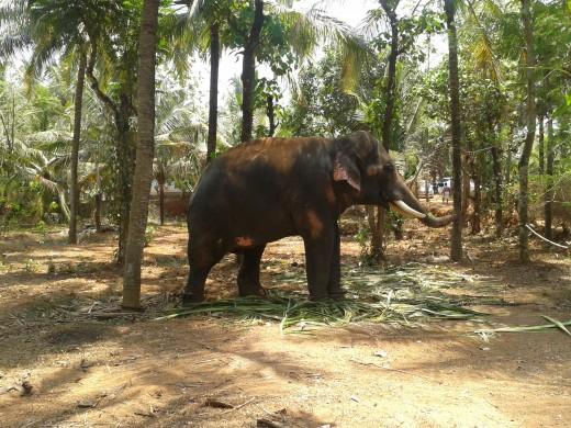Domesticated Elephant