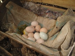 A Chicken Nest Box Of Eggs.