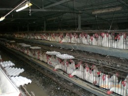 Battery Cages On Commercial Egg Production Farm