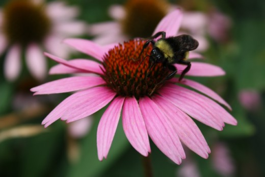 Bee and Purple Cone Flower from my Flower Garden