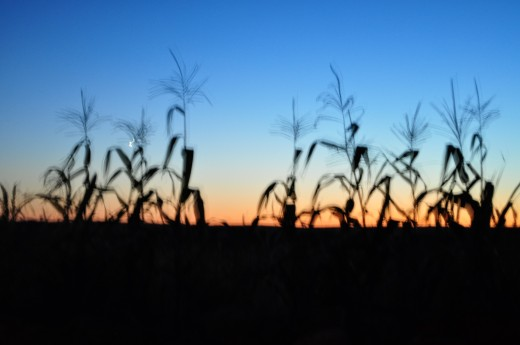 Nature photo of a cornfield at dusk.