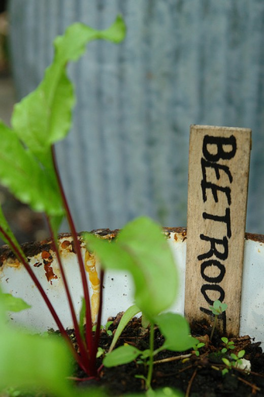 Beetroot in pots