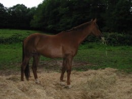"""The 17.3hh horse after treatment - he was still """"resting"""" at this stage but was - and is - still sound.  The injury was to his near (left) foreleg (at the back of the photo). (See case study in article)."""