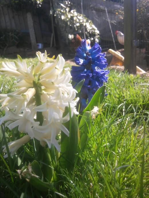 A late springtime apperance of Hyacynths
