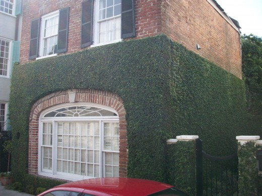 Japanese ivy is less damaging to the houses than the English ivy
