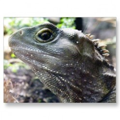 The New Zealand Tuatara - A Living Fossil
