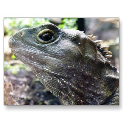 A gorgeous tuatara sitting very still.