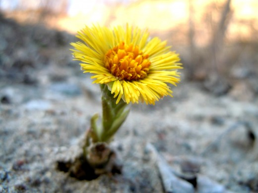 A blooming dandelion on a hill along the river.