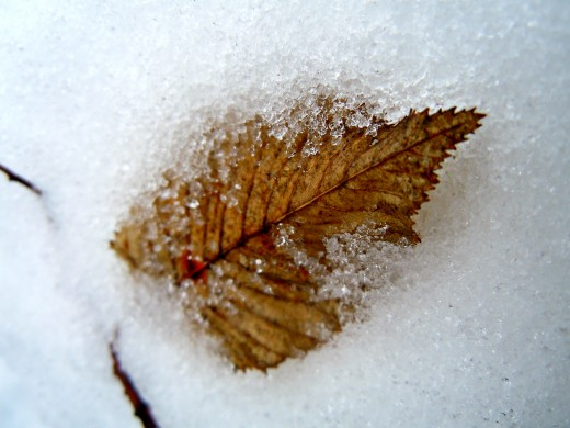 The last leaf of frost.