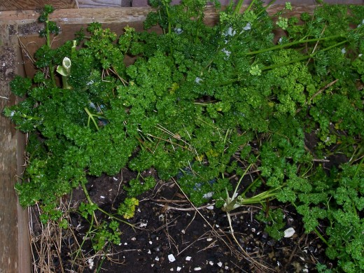 Fresh parsley growing in my garden.