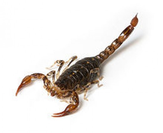 This scorpion of Patagonia can tolerate extreme cold temperatures.