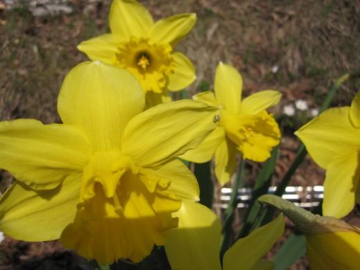 Yellow daffodils!