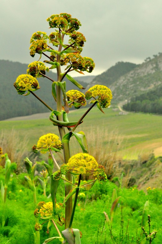 Mature giant fennel with seeds