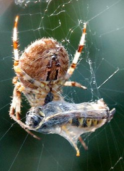 The Feeding Behavior of Spiders