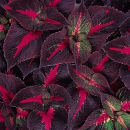 Perilla-Magilla Purple