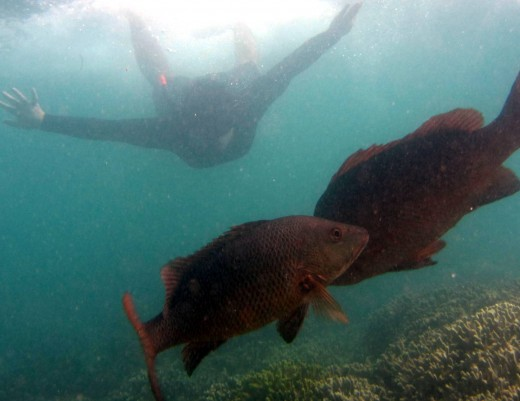 snorkeling with the big snapper fish