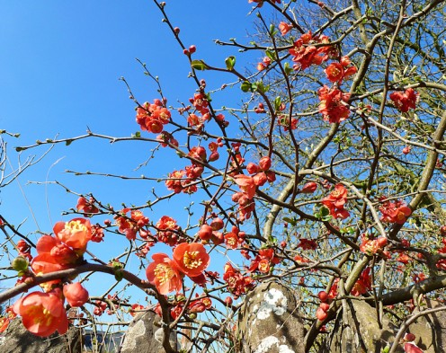Chaenomeles Japonica - Ornamental Japanese Flowering Quince