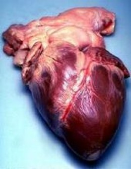 Real Human Heart