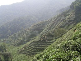 Tea plantation in Hangzhou, China.