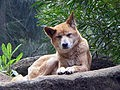 Dingo, Wild Australian Dog