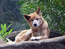Dingo Perth ZOO