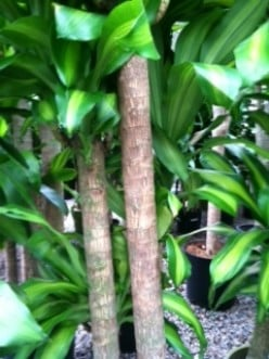 Caring for Mass Cane (Corn Plant, Dracaena Massangeana)