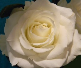This creamy white rose seems to exude perfection, purity, hope.