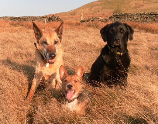 My dog family in March 2012. It took several attempts to get all 3 looking towards the camera and I can't help being slightly irritated that Nettle's collar end pokes out on the left.