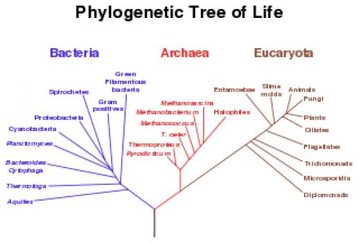Phylogenetic tree of Life