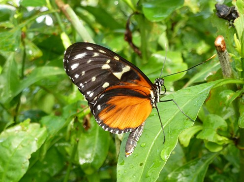 Heliconius hecale - Tiger Longwing
