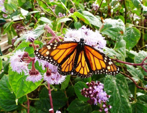 Danaus plexippus - Monarch