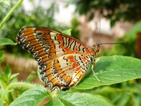Celthosia Biblis - Leopard Lacewing