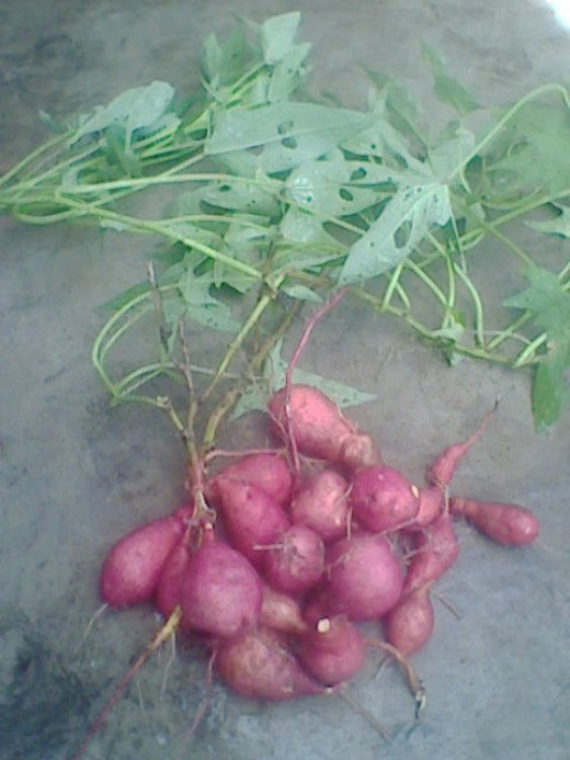 Sweet Potato - loaded with carbohydrates in the form of starch & sucrose.