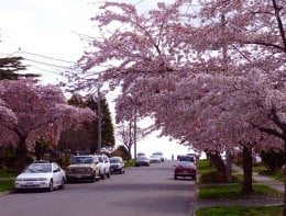 Cherry Blossoms fill the streets of Victoria
